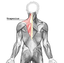 Trapezuis muscle